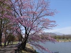 軽井沢 矢ヶ崎公園・大賀ホール 矢ヶ崎公園 桜・離山・浅間山