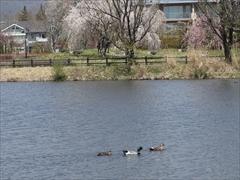 軽井沢 矢ヶ崎公園・大賀ホール 矢ヶ崎公園 水鳥 桜が満開