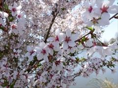 軽井沢 矢ヶ崎公園・大賀ホール 桜満開 左写真のアップ