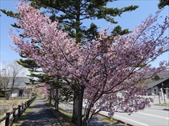 軽井沢 矢ヶ崎公園・大賀ホール 矢ヶ崎公園 遊歩道の桜 満開