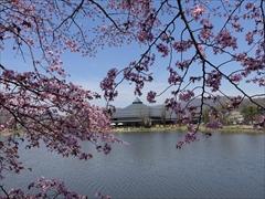 軽井沢 矢ヶ崎公園・大賀ホール 大賀ホール 桜
