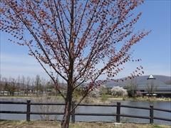 軽井沢 矢ヶ崎公園・大賀ホール 矢ヶ崎公園 カツラの木
