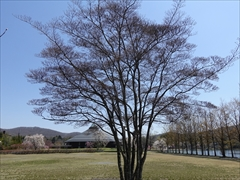 軽井沢 矢ヶ崎公園・大賀ホール 矢ヶ崎公園 ヤマボウシの木