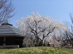 軽井沢 矢ヶ崎公園・大賀ホール 大賀ホール 枝垂れ桜 満開