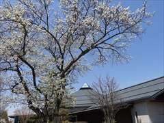 軽井沢 矢ヶ崎公園・大賀ホール 大賀ホール正面 左の桜