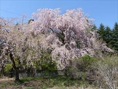 軽井沢 矢ヶ崎公園・大賀ホール 大賀ホール駐車場 枝垂れ桜