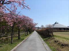 軽井沢 矢ヶ崎公園・大賀ホール 大賀ホール側道 桜並木