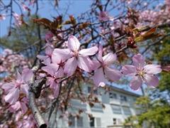 軽井沢 矢ヶ崎公園・大賀ホール 桜散り始め 左写真のアップ