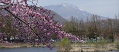 軽井沢 矢ヶ崎公園・大賀ホール 桜