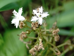 軽井沢 矢ヶ崎公園・大賀ホール 矢ヶ崎公園 白い花