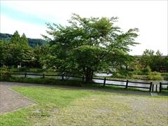 軽井沢 矢ヶ崎公園・大賀ホール 山桜から矢ヶ崎公園