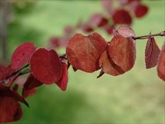 軽井沢 矢ヶ崎公園 カツラ(桂)の紅葉